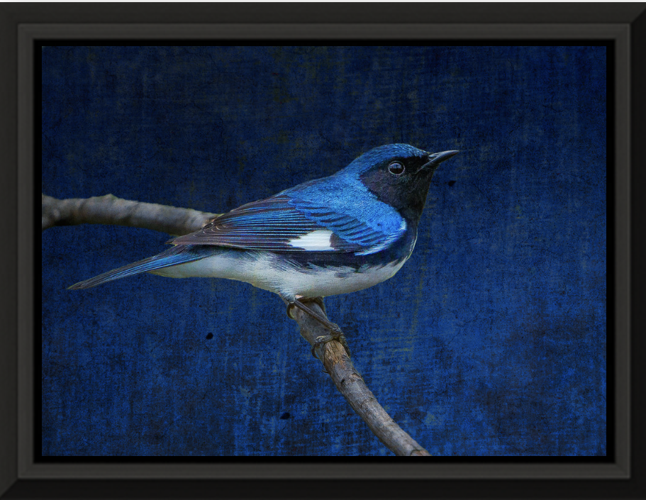 "Mike Caplan ""Black Throated Blue Warbler"" Photography 20x30"